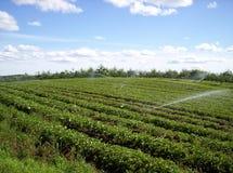 Campo da morango Foto de Stock