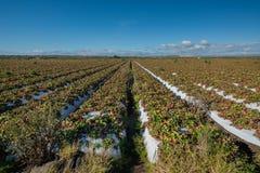 Campo da morango com bagas maduras imagem de stock