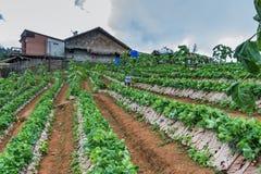 Campo da morango na montanha Foto de Stock Royalty Free