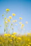 Campo da mostarda e do céu azul Fotografia de Stock