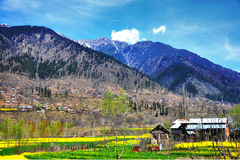 Campo da mostarda, Kashmir fotos de stock royalty free