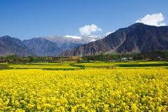 Campo da mostarda na Índia de Kashmir Imagens de Stock
