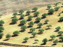 Campo da oliveira Fotografia de Stock