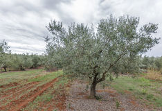 Campo da oliveira em Istra, Croácia Fotografia de Stock Royalty Free