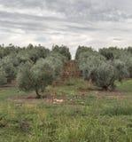 Campo da oliveira em Istria, Croácia Fotografia de Stock Royalty Free