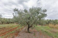 Campo da oliveira em Istria, Croácia Fotos de Stock Royalty Free