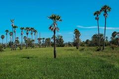 Campo da palma de açúcar Imagem de Stock Royalty Free