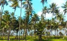 Campo da palmeira imagem de stock