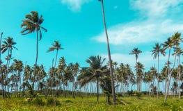 Campo da palmeira fotos de stock