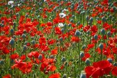Campo da papoila com as papoilas vermelhas e cor-de-rosa Fotos de Stock Royalty Free