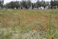 Campo da papoila e das oliveiras imagens de stock