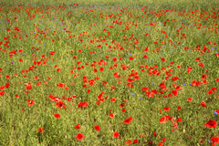 Campo da papoila perto de Jozefow poland Imagem de Stock