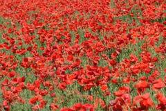 Campo da papoila vermelha Imagem de Stock Royalty Free