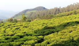 Campo da plantação de chá Imagem de Stock