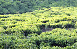 Campo da plantação de chá Fotos de Stock Royalty Free