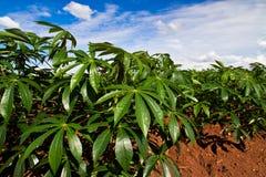 Campo da planta da mandioca ou de mandioca Fotografia de Stock Royalty Free