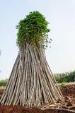 Campo da planta da mandioca ou de mandioca Imagens de Stock Royalty Free