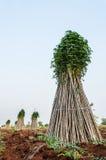Campo da planta da mandioca ou de mandioca Imagem de Stock Royalty Free