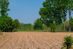 Campo da planta da mandioca ou de mandioca fotos de stock royalty free