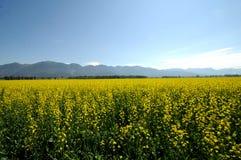 Campo da planta da mostarda Imagem de Stock Royalty Free