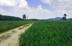 Campo da planta de abacaxi fotografia de stock