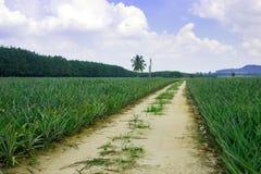 Campo da planta de abacaxi fotografia de stock royalty free