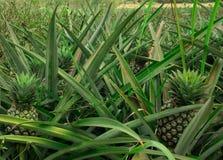 Campo da planta de abacaxi fotos de stock royalty free