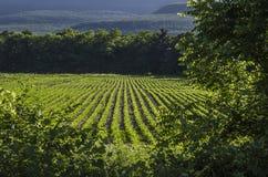 Campo da planta de feijão de soja Fotografia de Stock Royalty Free