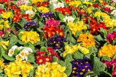 Campo da prímula da prímula na mola Mar das flores fotografia de stock