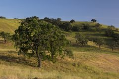 Campo da primavera de Santa Ynez dos carvalhos e das pastagem imagens de stock