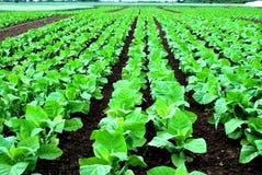 Campo da salada Imagens de Stock