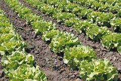 Campo da salada Fotografia de Stock Royalty Free