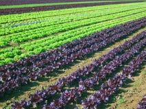 Campo da salada Imagens de Stock Royalty Free