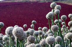 Campo da semente da cebola Fotografia de Stock Royalty Free