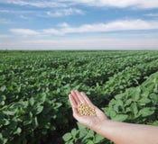 Campo da soja Imagem de Stock