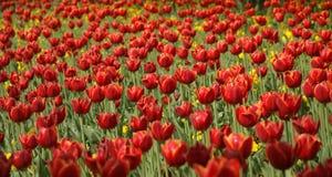 Campo da tulipa Fotos de Stock Royalty Free