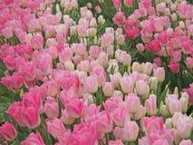 Campo da tulipa Foto de Stock