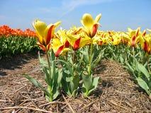 Campo da tulipa Imagem de Stock