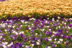 Campo da tulipa e do açafrão na Holanda Foto de Stock