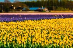 Campo da tulipa e moinhos velhos no netherland Foto de Stock