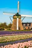 Campo da tulipa e moinhos velhos no netherland Foto de Stock Royalty Free