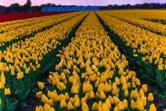 Campo da tulipa e moinhos velhos no netherland Imagem de Stock Royalty Free