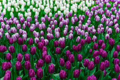 Campo da tulipa e moinhos velhos no netherland Fotografia de Stock Royalty Free
