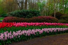 Campo da tulipa e moinhos velhos no netherland Fotografia de Stock