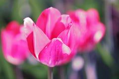 Campo da tulipa, flores Foto de Stock