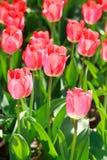 Campo da tulipa, flores Fotos de Stock