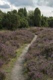 Campo da urze em Hoge Veluwe (Países Baixos) Imagem de Stock