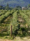 Campo da uva-do-monte Fotografia de Stock Royalty Free