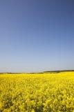 Campo da violação amarela da semente oleaginosa Fotografia de Stock Royalty Free
