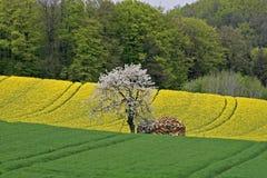 Campo da violação com a árvore de cereja em Alemanha imagem de stock